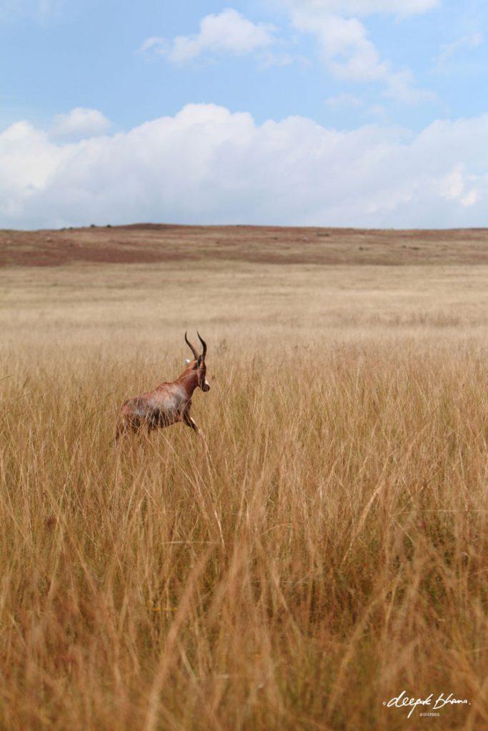 Gazelle-running-across-savannah-plains-grass