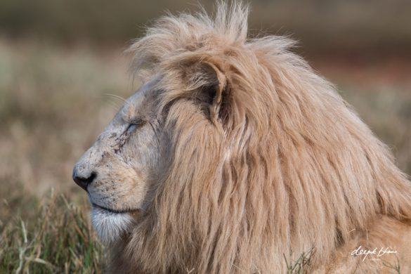 White-lion-male-profile-eyes-closed-resting.jpg