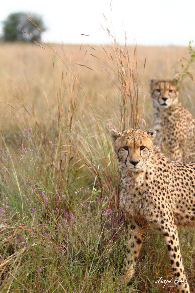 Two-young-cheetah-savannah-plains-grass-wild-flowers
